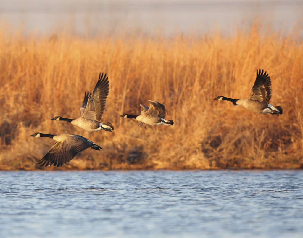 Giant Canada Geese at Upper Mississippi Conservation Area, St. Charles County, MO
