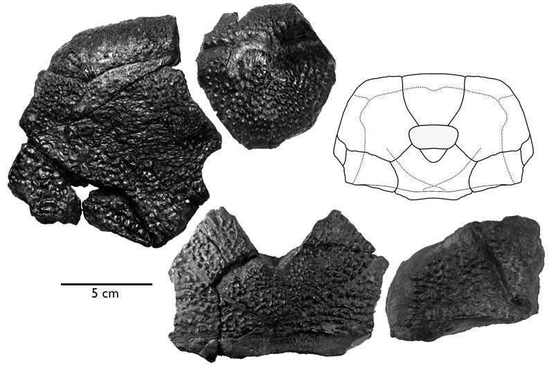 Fossil bones from skull of Bothriolepis rex