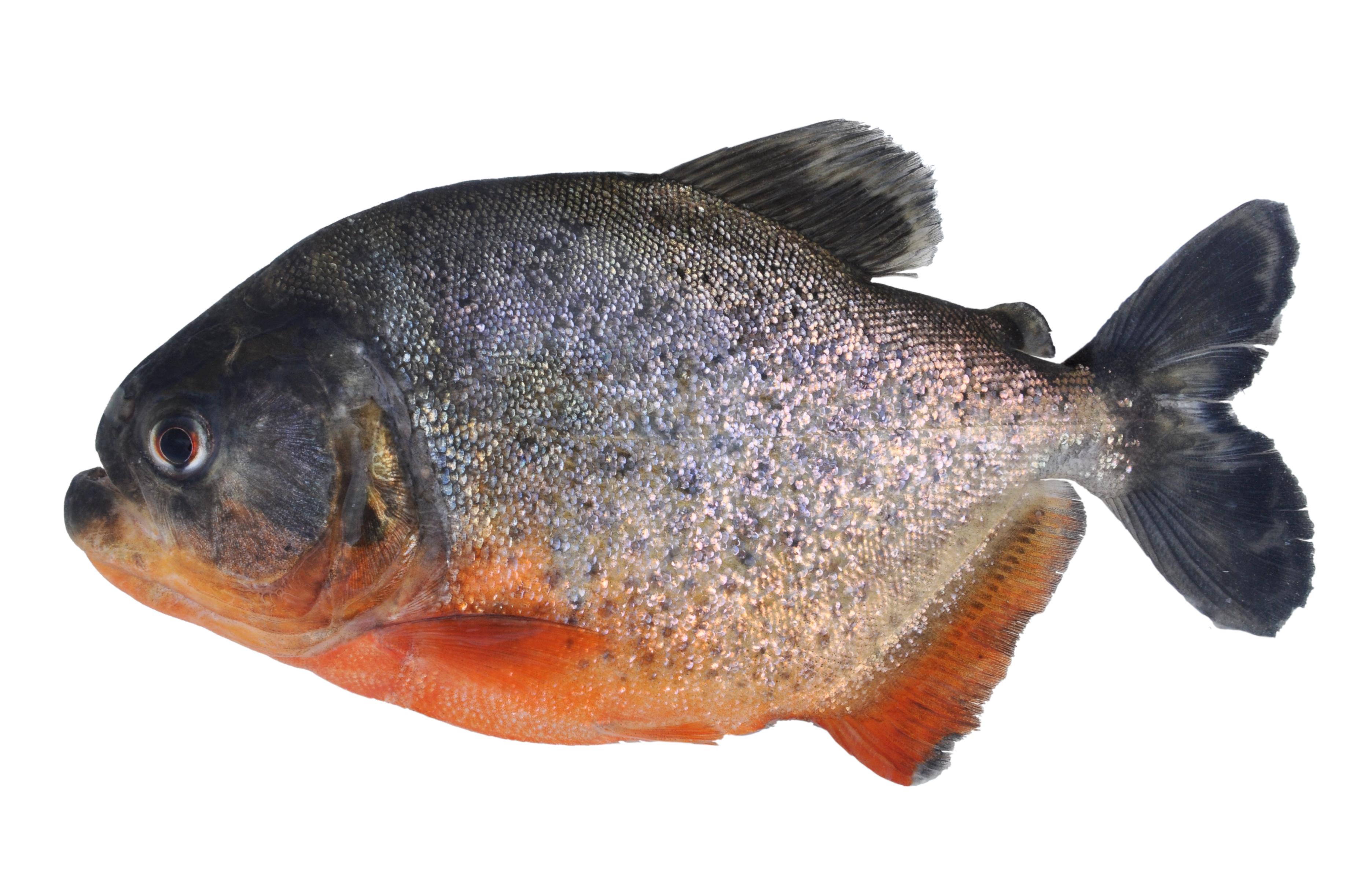 fish16_6_pygocentrus_nattereri_inpa_exp3-51