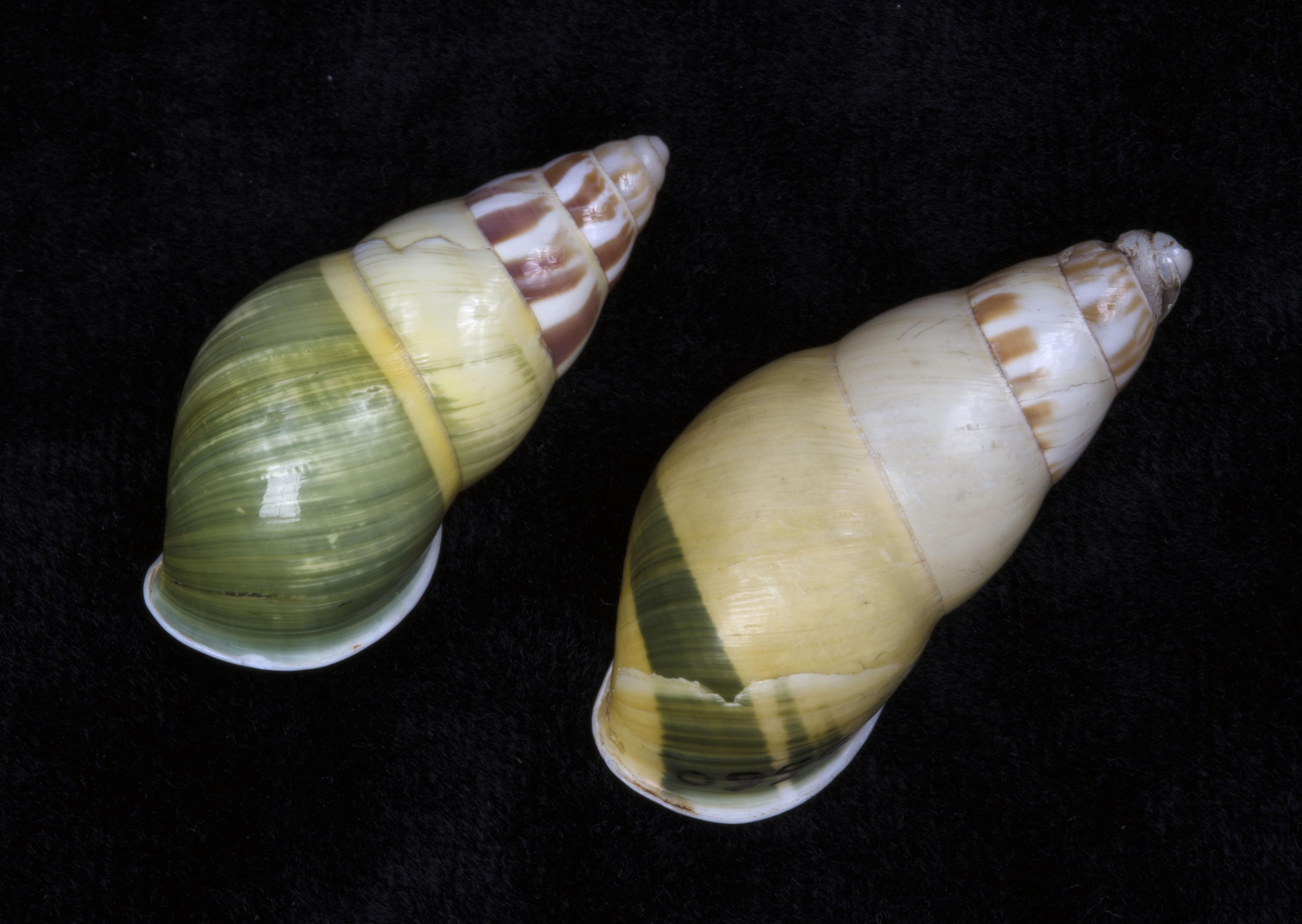 shell22_amphidromus