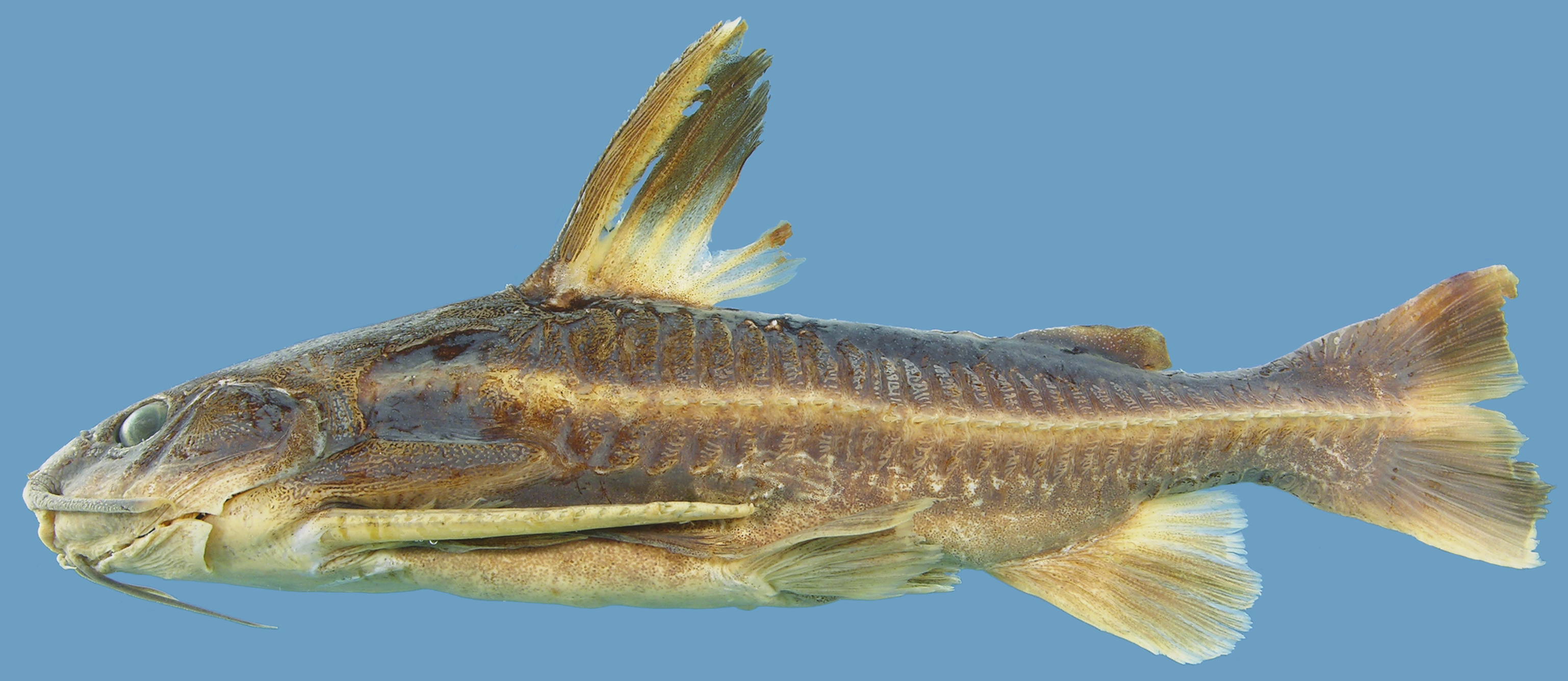 Here's a lateral view of the Platydoras, a genus of the thorny catfish. Arce Hernandez first became acquainted with this fish while working on her thesis in the Amazon.