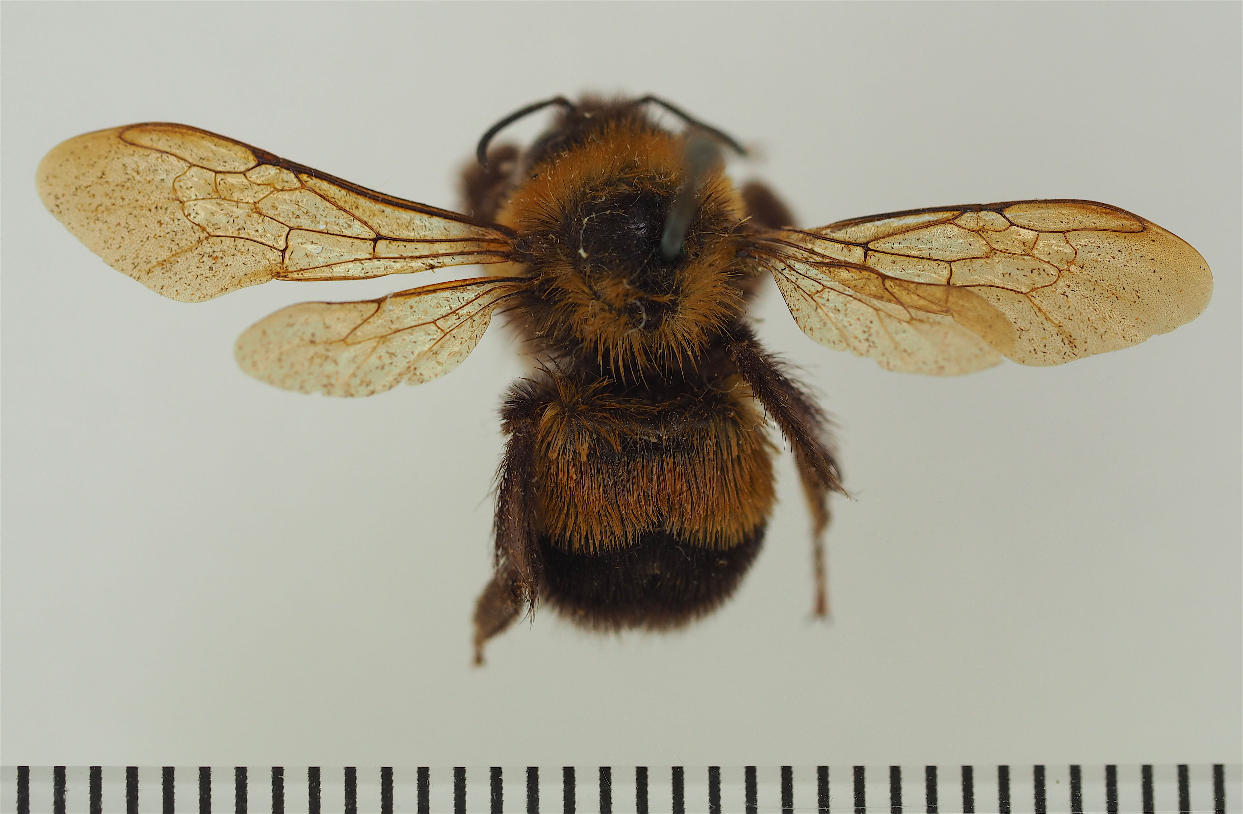 Type specimen of the rusty patched bumble bee. The scale bar at the bottom is in millimeters. Photo by J.D. Weintraub / ANSP Entomology