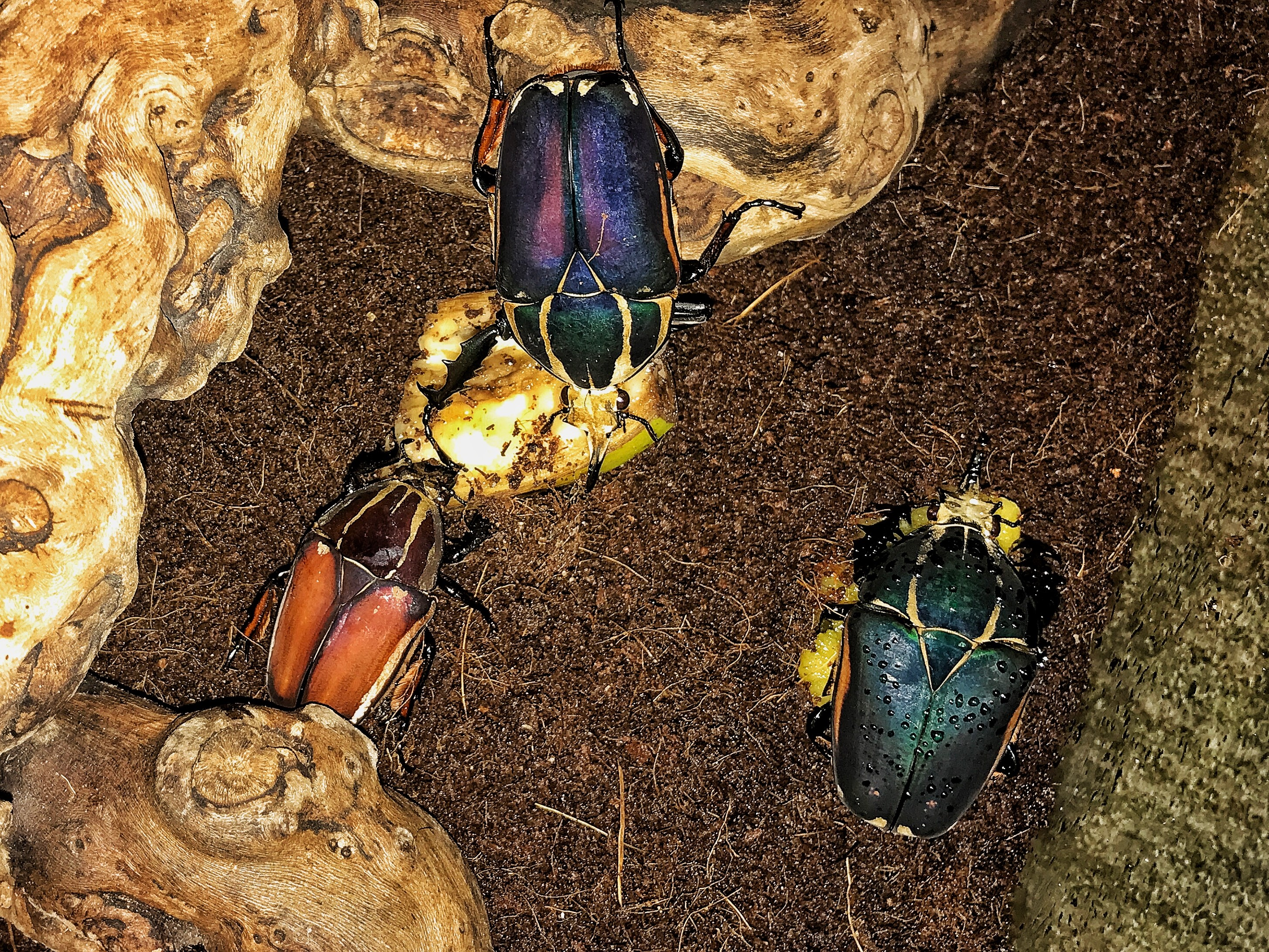 Flower Beetles in dirt at Bug Fest at the Academy of Natural Sciences