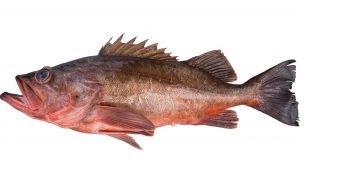 Bacaccio Rockfish