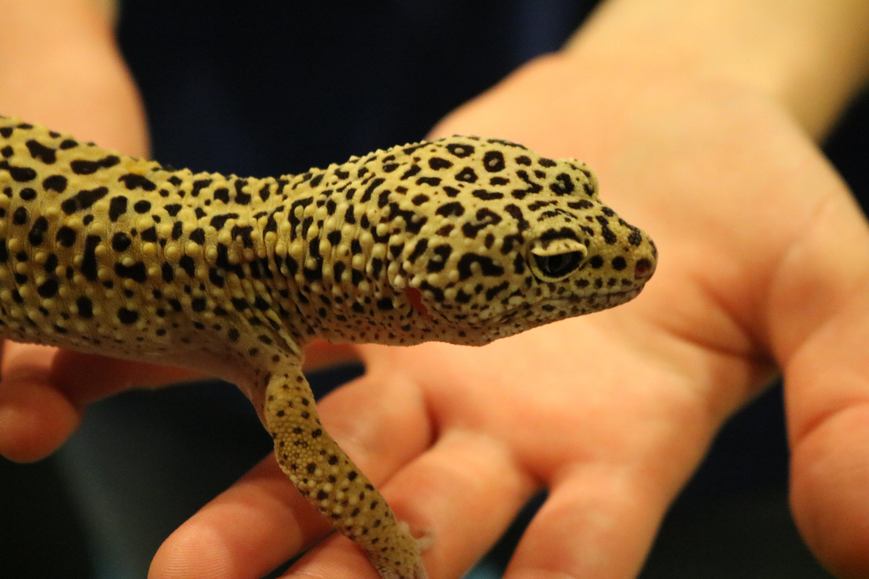 Yellow lizard wi