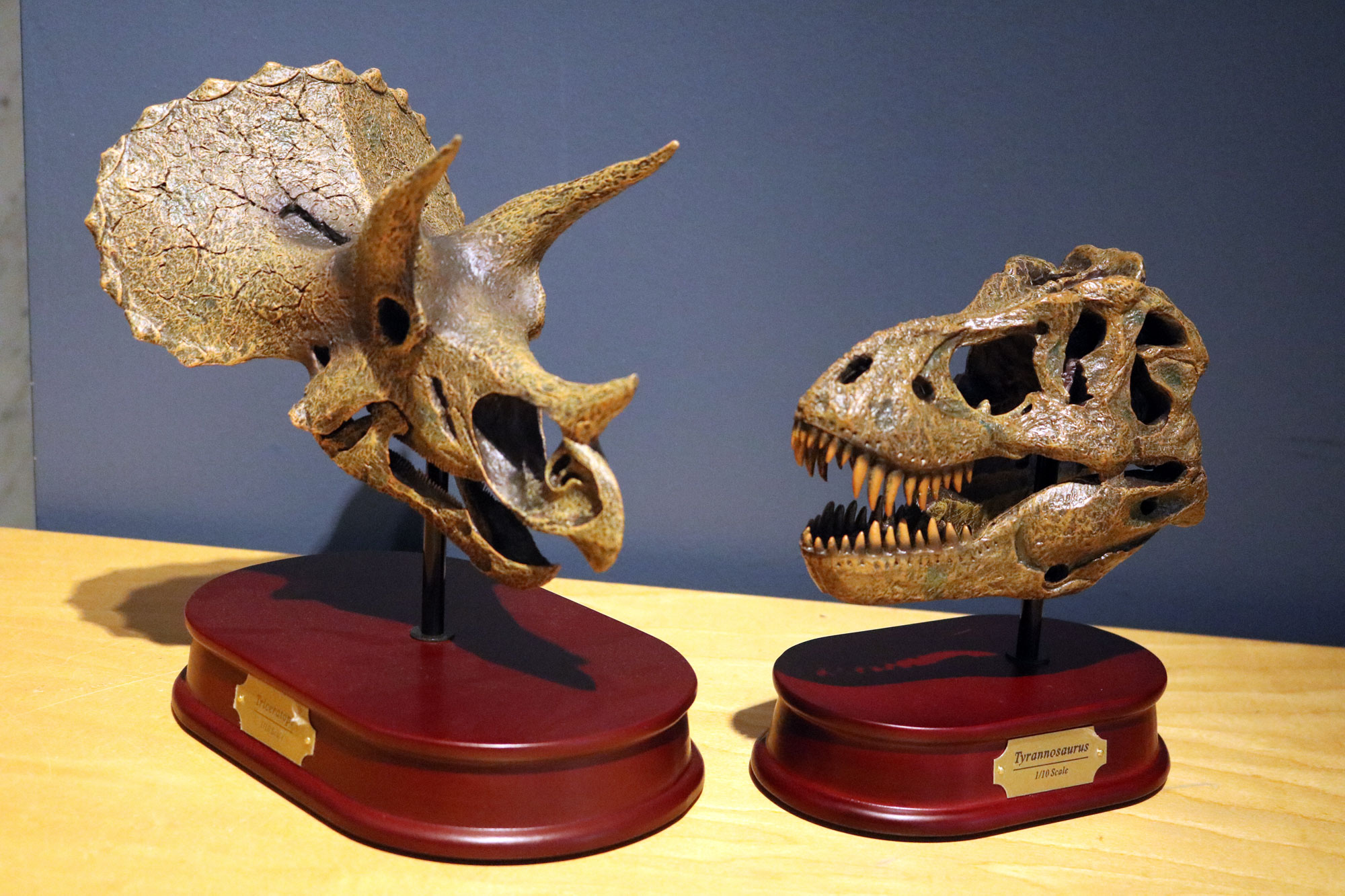 Triceratops and T. rex skull models