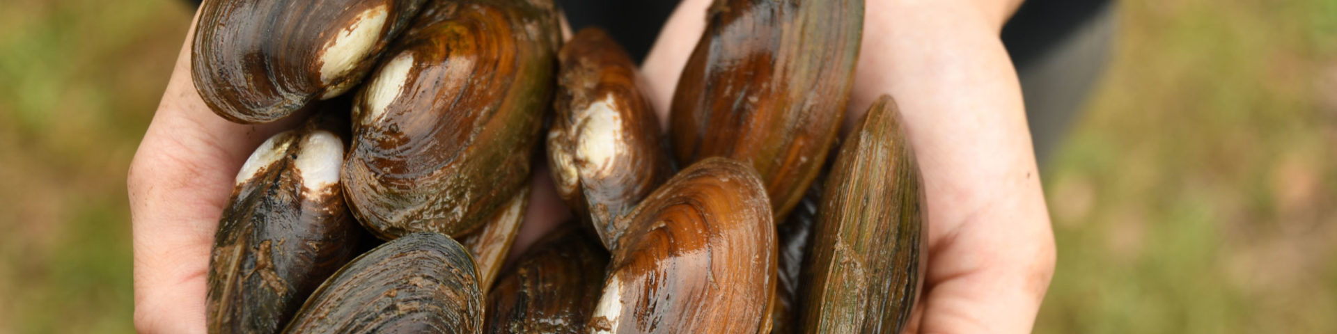 Freshwater mussels in hands