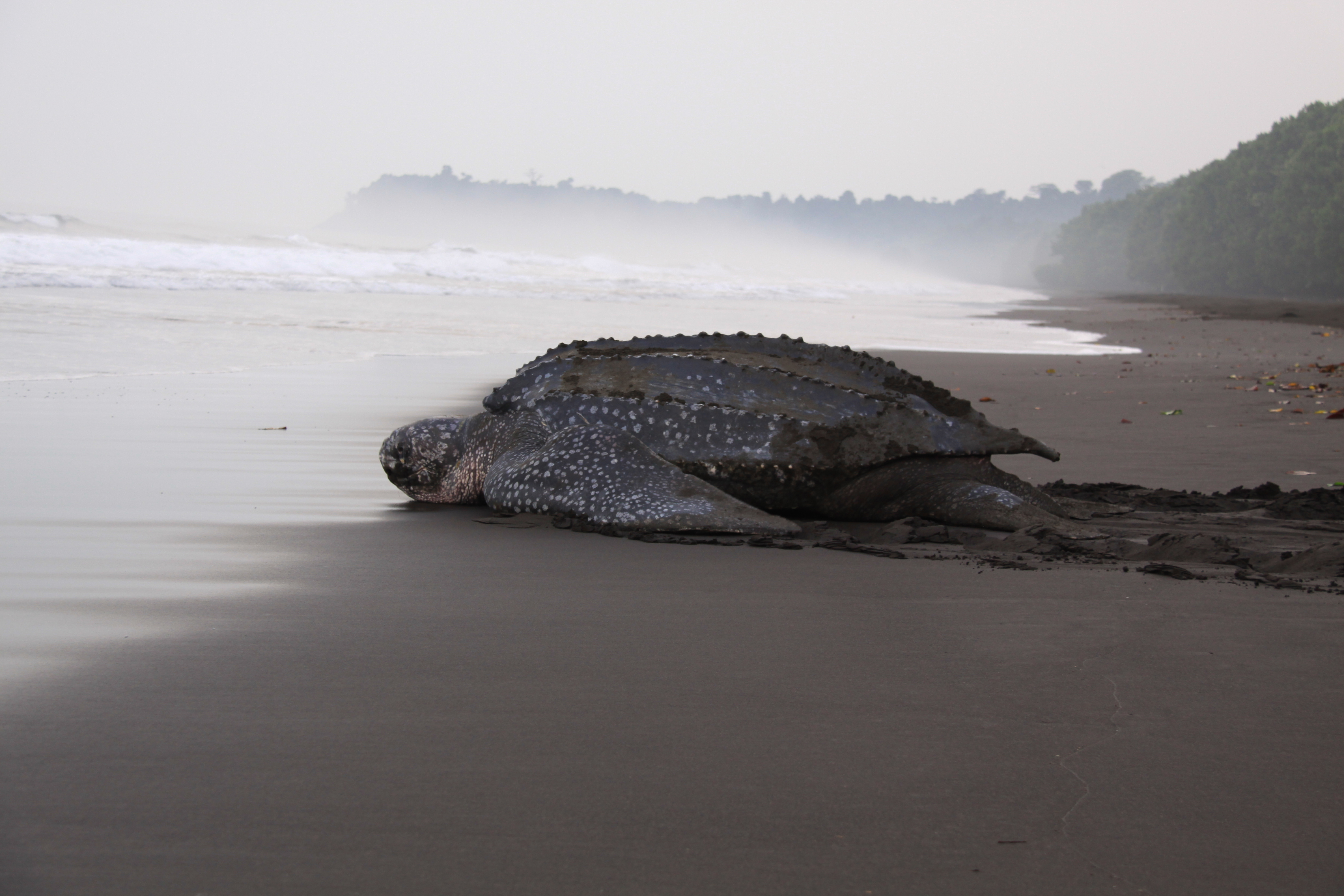 A leatherback sea turtle lays on the wet sandy beach in Bioko.