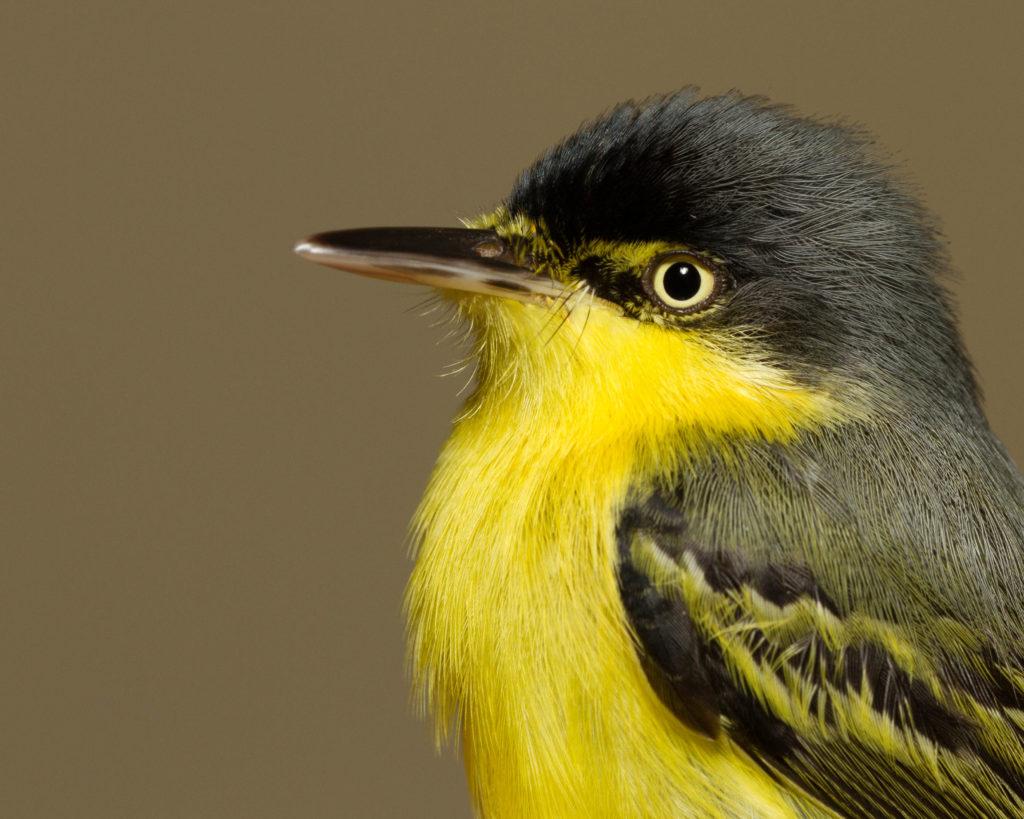Common Tody Flycatcher (Todirostrum cinereum)