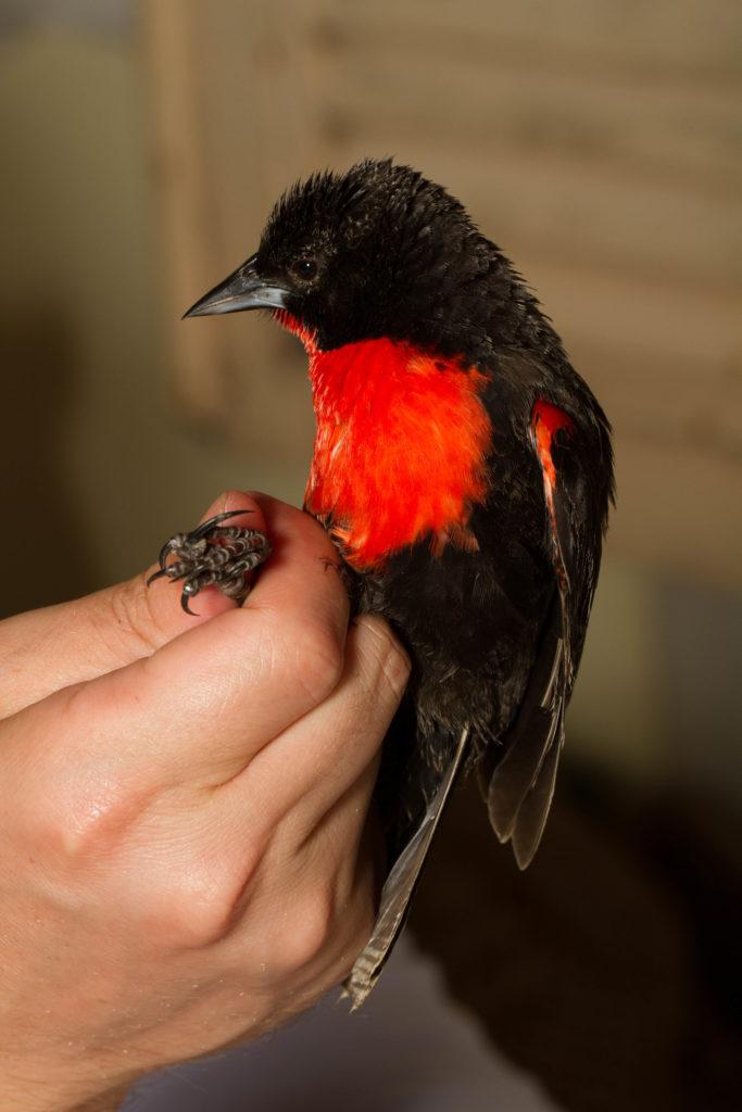 Red-breasted Meadowlark (Leistes militaris)