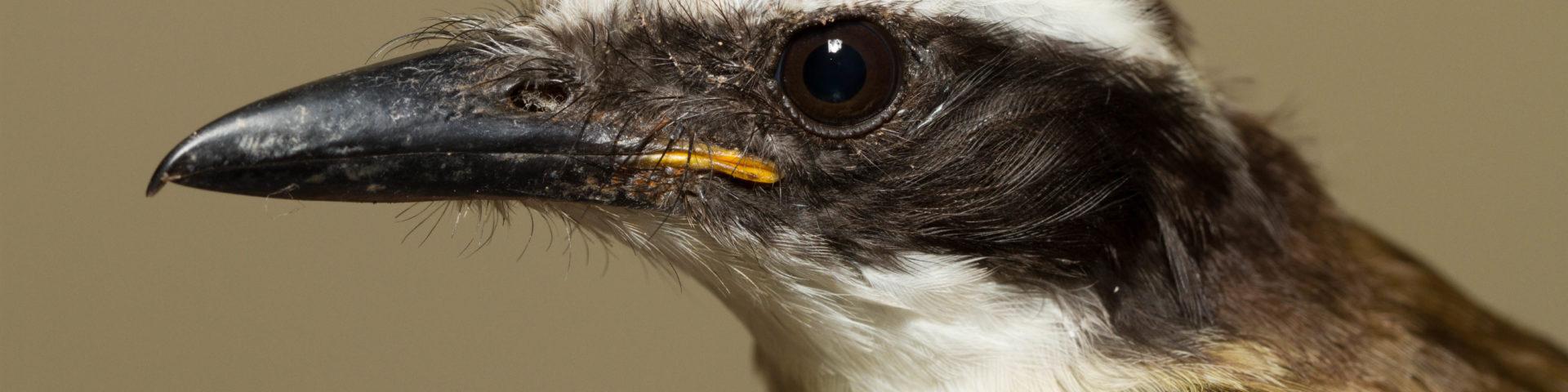 Brown/black bird with white stripe across eye