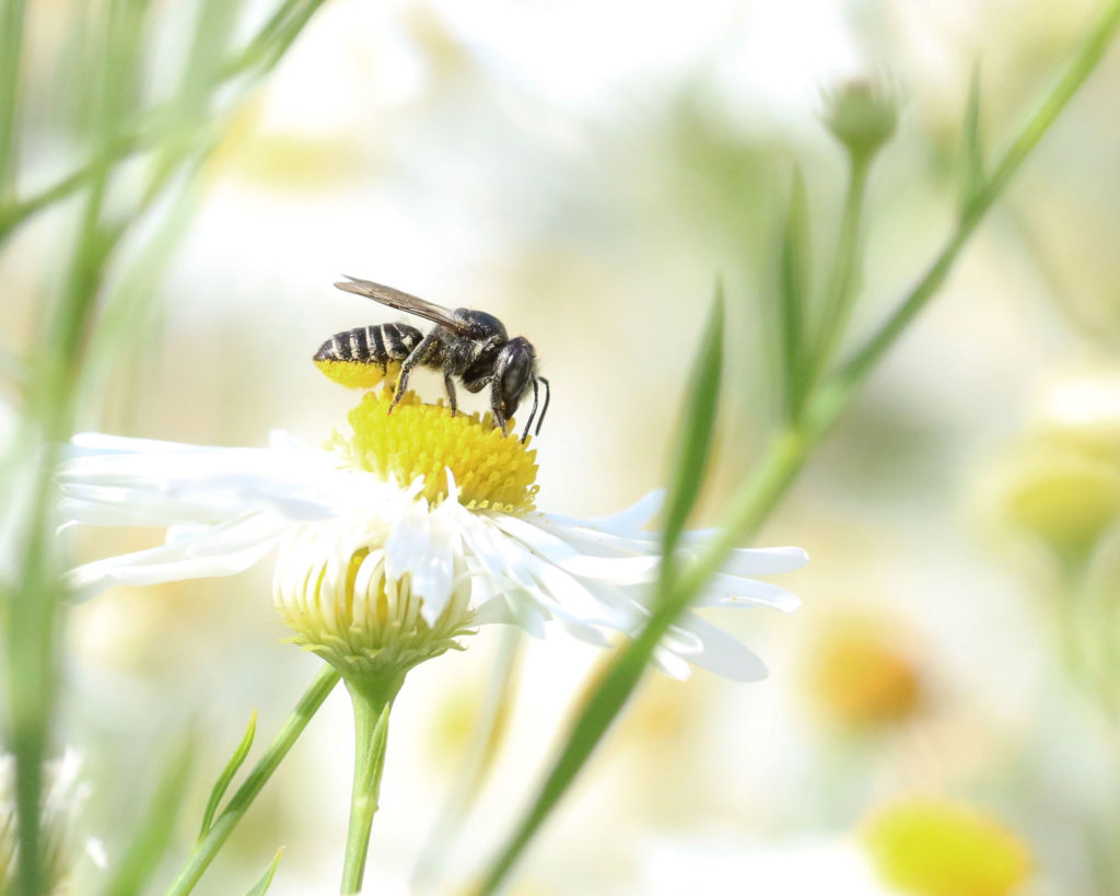 Laeaf-cutting bee on a daisy.
