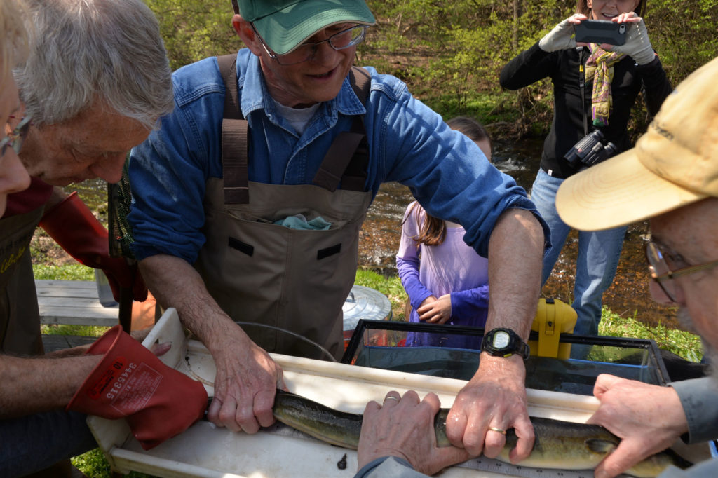 Male scientist in blue shirt, waders, and baseball hat measures two foot long eel with help from others