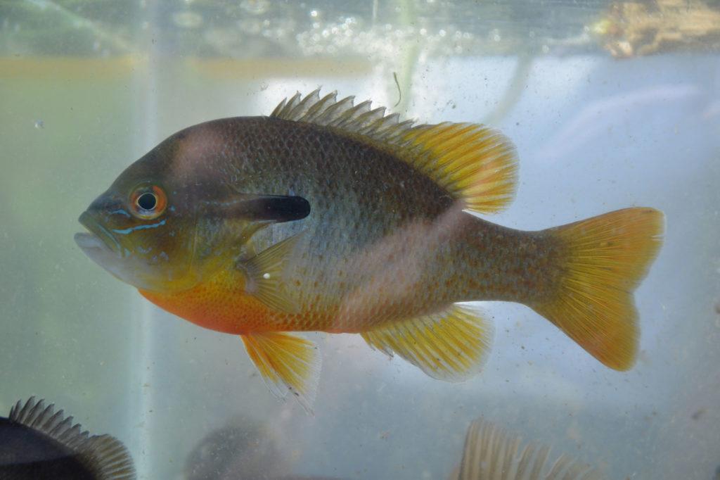 Lepomis auritus (redbreast sunfish)