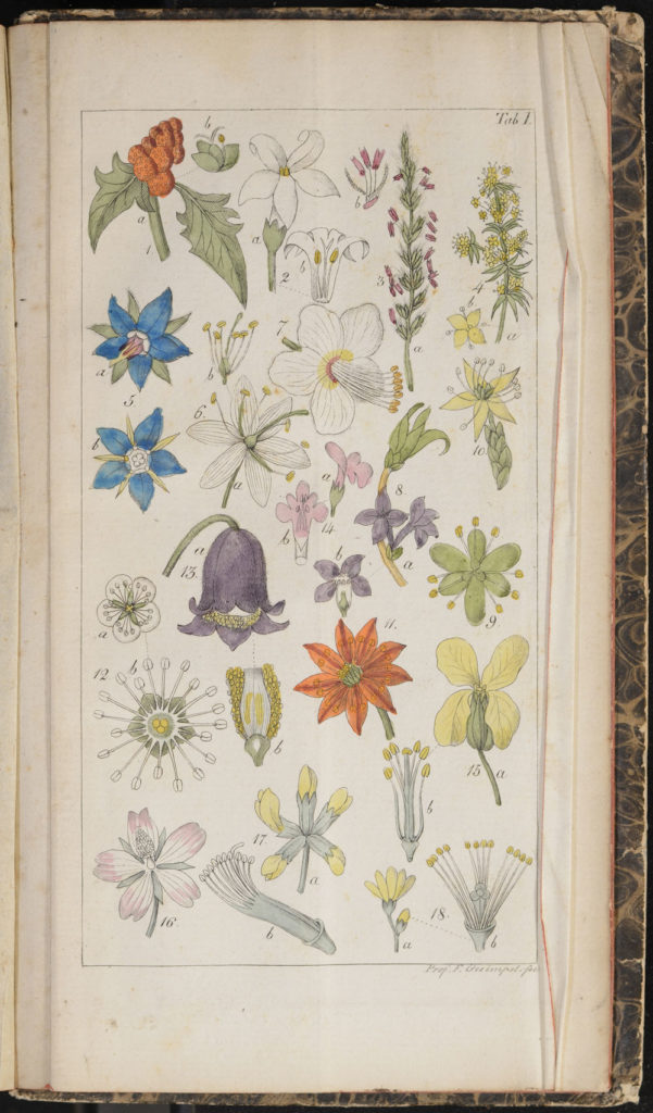 Flower illustration from Willdenow's Guide to Self-Study of Botany