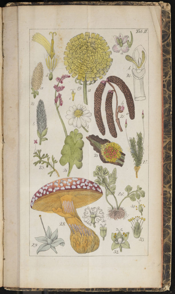 Mushroom and plant Illustration from Willdenow's Guide to Self-Study of Botany