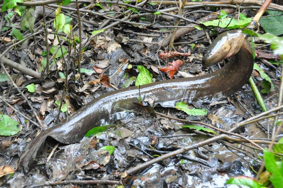 electric eel in mud