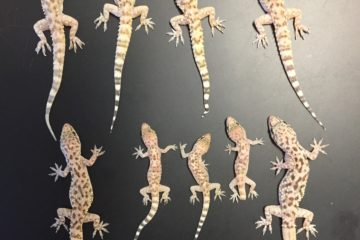 row of geckos