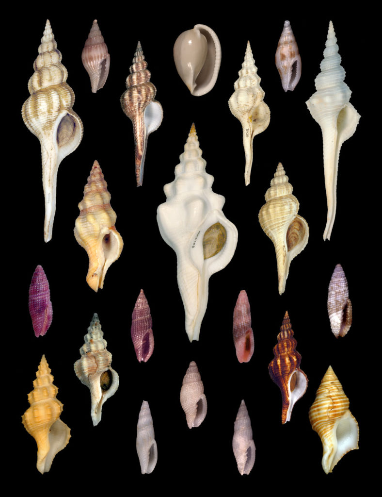 Plate showing many species of spindle shells