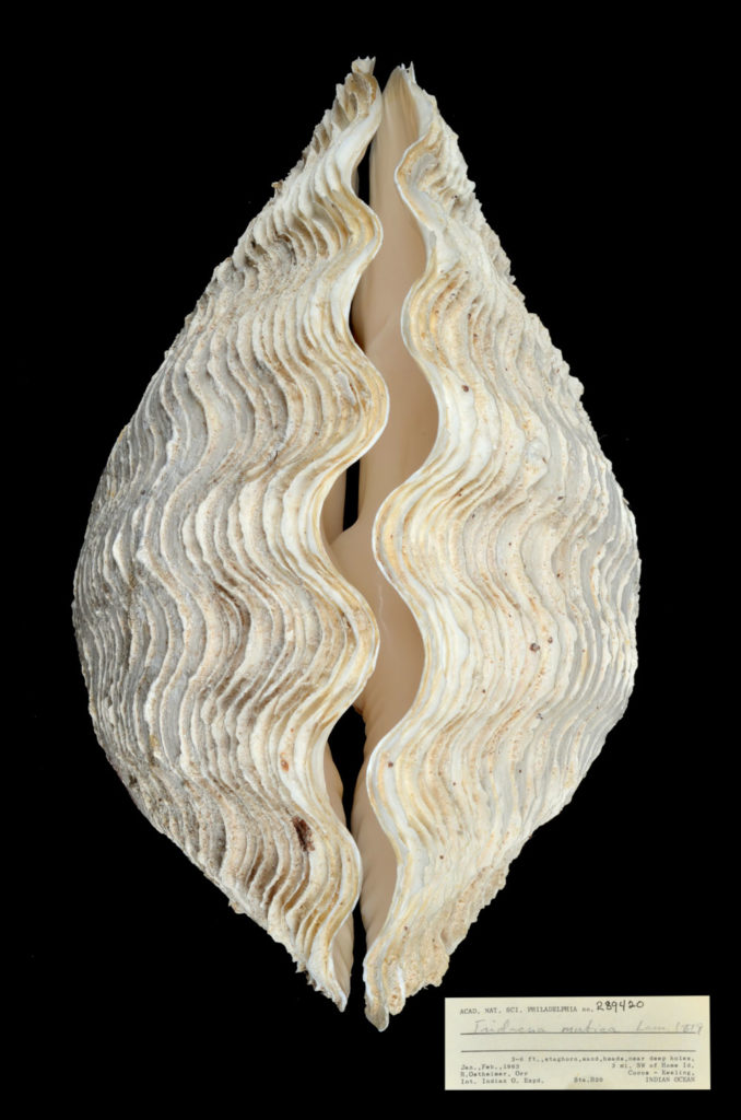 Giant Clam shell on black background