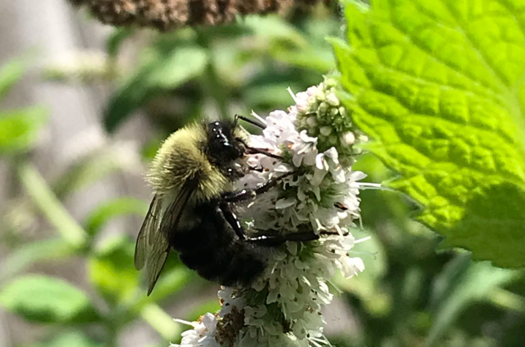 Bee on mint plant