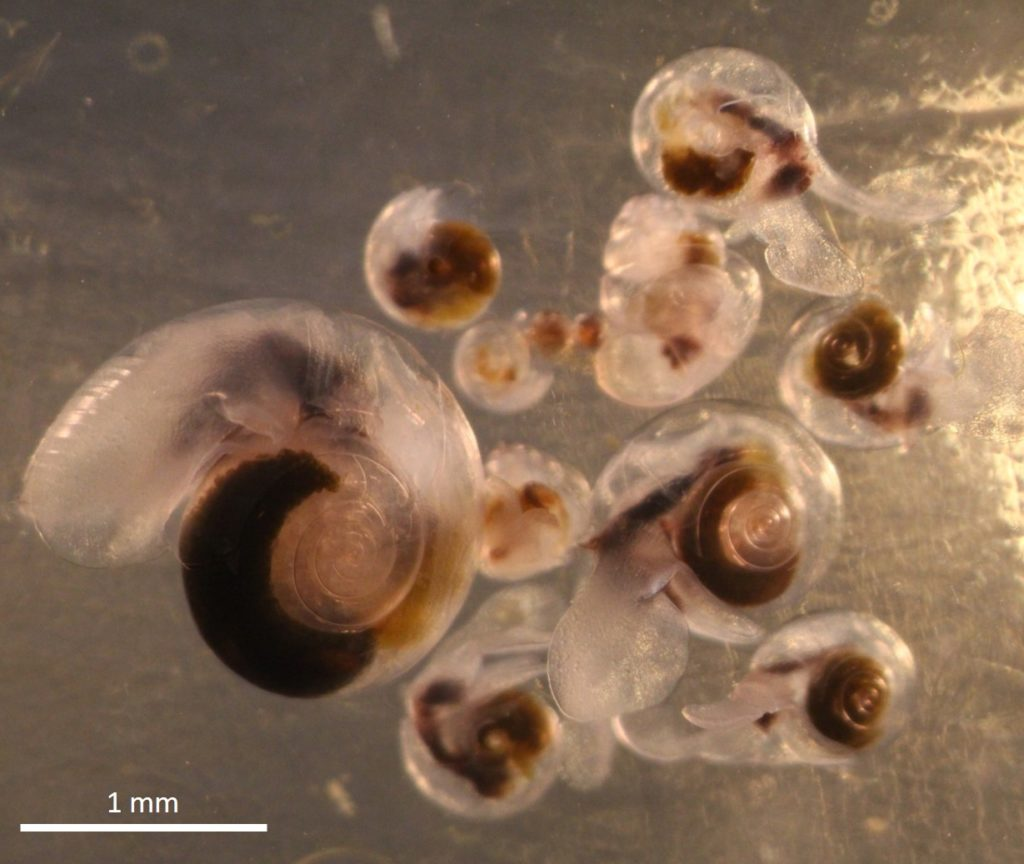 pteropods