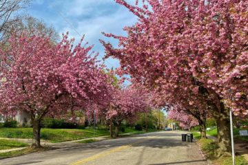 street with pink trees