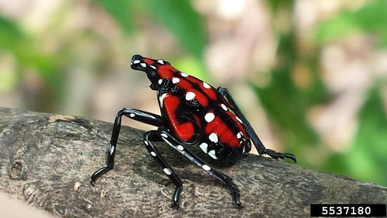 nympth spotted lanternfly