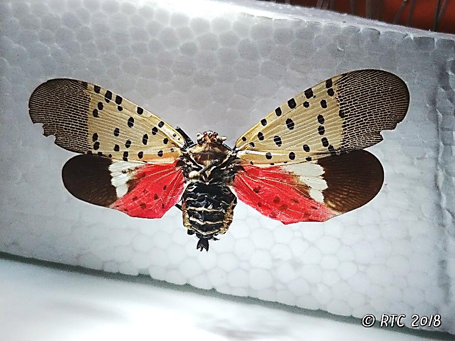 single lantenfly