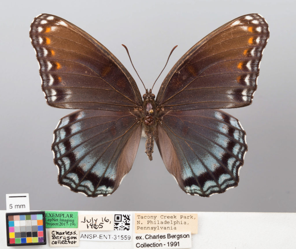 Dorsal view of a Red-Spotted Purple that was collected in Tacony Creek Park on July 16th, 1965