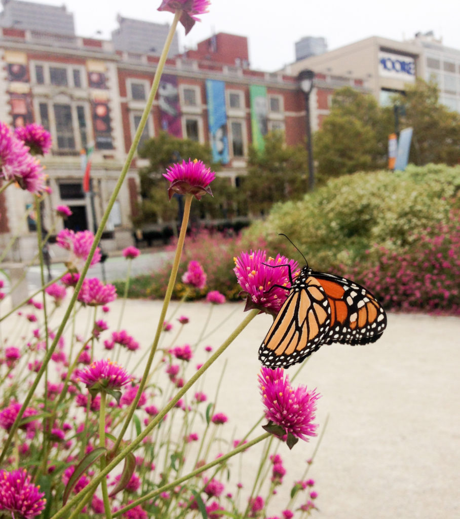 A Monarch is on a pink flower in the Logan Square garden. The Academy of Natural Sciences Museum is in the background.