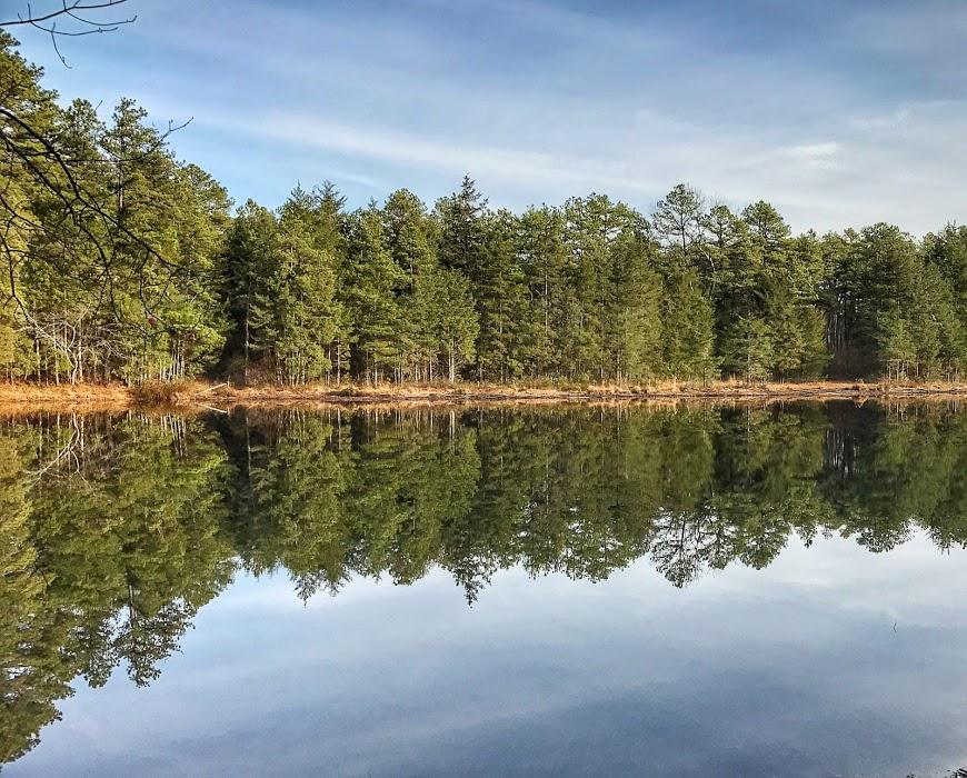 pine trees along a pond